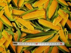 Látky - vzor 435 Kukuřice  -